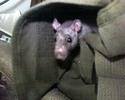 Rat in bag