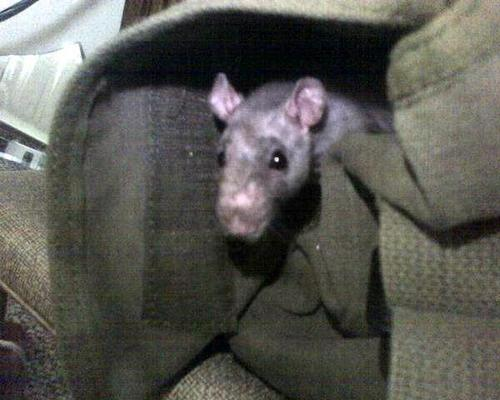 Product picture Rat in bag